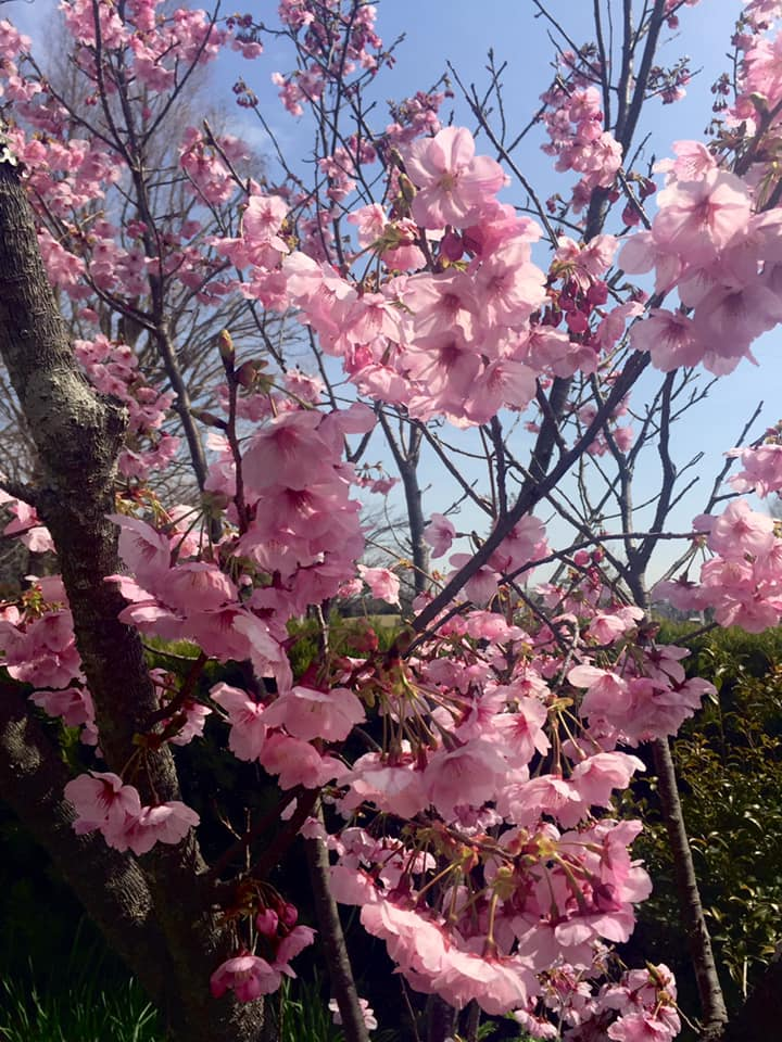 御庭の桜満開です。